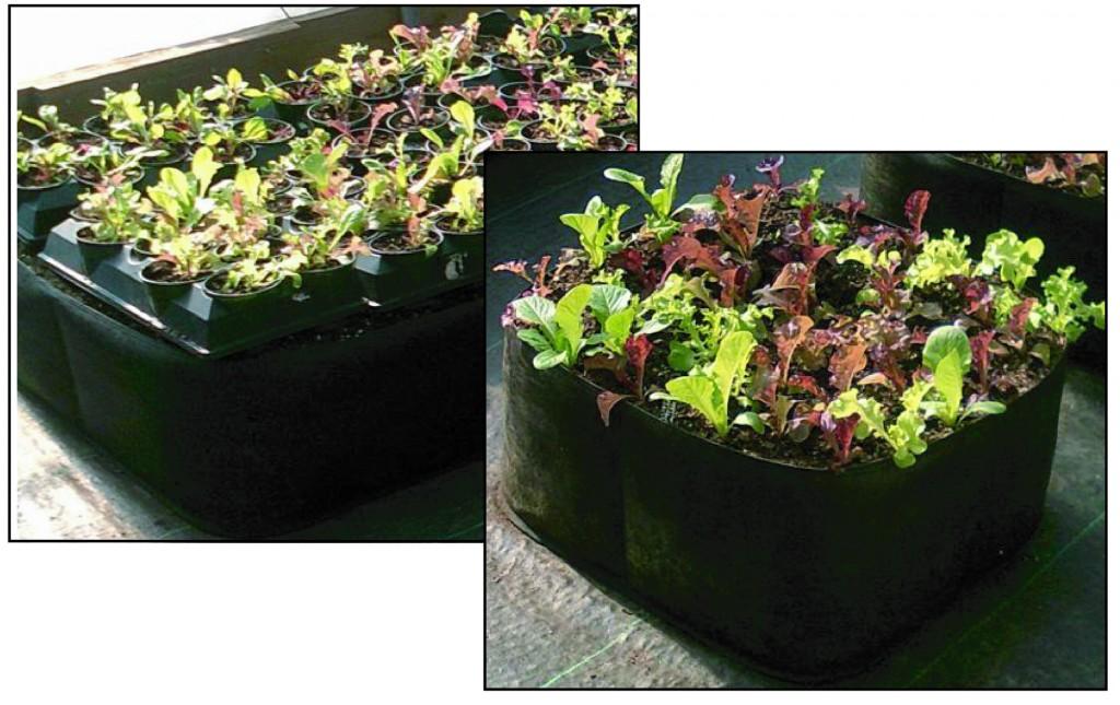 lettuce in greenhouse comparison 2 medium